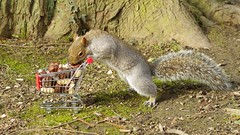 Squirrel with shopping cart (8) (Simon Dell Photography) Tags: winter spring grey animal nature together wildlife sheffield botanical gardens simon dell photography 2018 feb 24 with trolley shopping cart cute funny awesome mini micro full nuts