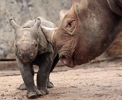 black rhino Blijdorp BB2A8807 (j.a.kok) Tags: rhino rhinoceros blackrhinoceros zwarteneushoorn neushoorn babyneushoorn neushoornkalf rhinocalf calf kalf africa afrika animal blijdorp mammal zoogdier dier herbivore naima blijdorpzoo