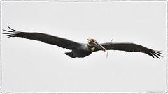 Brown Pelican (RKop) Tags: alafiabnaks tampa florida raphaelkopanphotography d500 nikkor600f4evr handheld wildlife