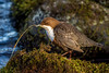 JWL5494  Dipper.. (jefflack Wildlife&Nature) Tags: dipper dippers bird avian animal animals wildlife waterbirds waterways rivers canals countryside nature ngc birds wildbirds riverbirds npc