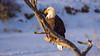 Bald Eagle (kensparksphoto) Tags: bald eagle bird raptor predator birdofprey