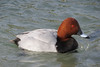 Common Pochard ♂ (Vitaly Giragosov) Tags: commonpochard duck crimea sevastopol blacksea aquaticbirds waterbird aythyaferina canon севастополь крым красноголовыйнырок чёрноеморе утка водоплавающие rf