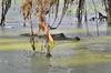 O2K_4132 (68photobug) Tags: 68photobug nikon d7000 sigma 150500mm usa centralflorida polkcounty lakeland circlebbar reserve preserve refuge park marsh sanctuary wetlands pinescrub nature naturecenter discoverycenter environmentalcenter wildlifemanagement alligatoralley gators alligator americanalligator lurking