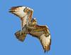Pale phase Common buzzard ( Buteo buteo ) - Eye to  eye !! (Clive Brown 72) Tags: birdofprey wales birdinflight hawk dusk winter freezing eyecontact raptor hunting buzzard commonbuzzard
