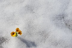 Snow and flowers (srouve78) Tags: snow flowers
