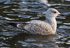 1st winter Herring Gull (MaggyN) Tags: herring gull
