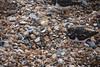 DSC_7421 (Peter-Williams) Tags: brighton sussex uk beach pier birds turnstones