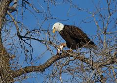 Bald Eagle with fresh catch_35 (Scott_Knight) Tags: baldeagle minnesota canon 70200 winter catch fish rapture birdofprey mississippi branches river lunch