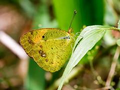 Yellow Orange-tip (chaz jackson) Tags: yelloworangetip ixiaspyrene pieridae pierinae butterfly insect macro vietnam