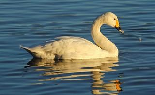 Bewick Swan with rippled reflection - Rushy Pen Lake