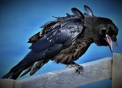 Do Crows Pose? (Insearchoflight) Tags: crowstoes avianwonder avianbeauty avianpictures birds birdsofafeather waynenorman insearchoflight ravensandcrows toosmart wiseoldcrow nikonist nikon