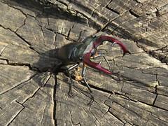 IMG_2187 Nagy szarvasbogár (Lucanus cervus) hím (NagySandor.EU) Tags: lucanidae nagyszarvasbogár lucanuscervus szarvasbogár szarvasbogárfélék törökbálint hungary hím male