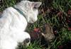 Playtime for one (TJ Gehling) Tags: mammal rodent geomyidae gopher pocketgopher bottas pocket thomomysbottae carnivora carnivoran felidae cat domesticcat felis felissilvestriscatus feliscatus predation elcerrito