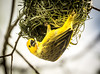African Weaver (Ploceus ?) watching a piece of its hard-built nest fall off (Wade Tregaskis) Tags: ploceus hanging nest twigs woven