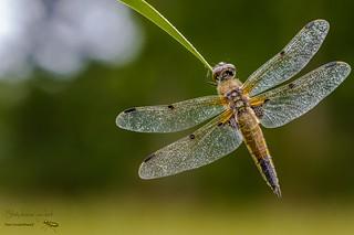 La libellule à quatre taches