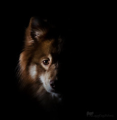 darklight 4/52 (sure2talk) Tags: darklight tasku finnishlapphund onblack nikond7000 nikkor85mmf35gafsedvrmicro flash speedlight sb900 offcamera snoot we28012018 52weeksfordogs 452 studio26