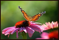 IMG_1094 Taking Him Under Her Wing 7-16-17 (arkansas traveler) Tags: insects bichos bugs butterfly paintedlady bee bumblebee flowers echinacea zoom telelphoto bokeh bokehlicious nature naturewatcher natureartphotography