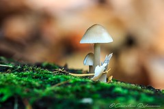 Noch was aus dem Herbst.😊 (Re Ca) Tags: herbst pilz mushroom natur nature fungi makrofotografie makro outdoor sigma105mm eos70d