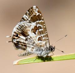 Common Bush Blue Butterfly Cacyreus lingeus Vineyard Hotel Cape Town (peterleanranger) Tags: insect butterfly vineyardhotel capetown africa southafrica cacyreus lingeus cacyreuslingeus lycaenidae lepidoptera commonbushblue bushbronze