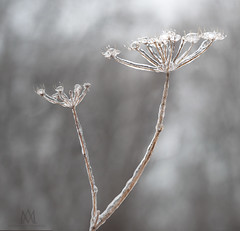 frozen Queen Anne's lace (marianna_a.) Tags: winter macro bokeh snow ice flora mariannaarmata p1770675 queen annes lace weed plant frozen
