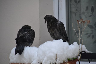 very young pigeons under the snow