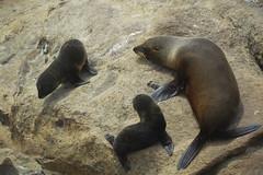 New Zealand Fur Seals (Arctocephalus forsteri) (Seventh Heaven Photography) Tags: fur seals arctocephalus forsteri new zealand australasian longnosed long nosed antipodean animal southern mammal carnivore nikond3200 otago peninsula dunedin south island