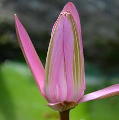 Green striped pink Water Lily bud is opening (jungle mama) Tags: pink waterlily bud waterfall livinginajungle coth5 ngc npc