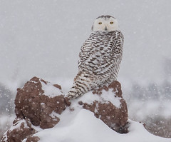 Let it snow (rdroniuk) Tags: birds raptors owl birdsofprey owls snowyowl snowyowlirruption buboscandiacus oiseaux oiseauxdeproie rapaces hibou hiboublanc harfangdesneiges