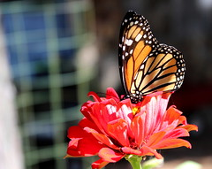 Monarch 1002 (Val Hightower) Tags: monarch monarchbutterfly danausplexippus butterfly zinnia conwayarkansas conway arkansas