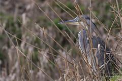 You can't see me (Jongejan) Tags: greatblueheron blauwereiger bird nature outdoor wildlife animal