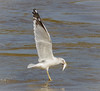 Gull Fishing (tresed47) Tags: 2017 201711nov 20171102conowingoeagles birds canon7d conowingo content fall folder gull maryland november peterscamera petersphotos places ringbilledgull season takenby us ngc npc