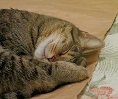 Key West (Florida) Trip 2017 7234Ri 5x6 (edgarandron - Busy!) Tags: coco cat cats kitty kitties tabby tabbies cute feline florida keys floridakeys keywest