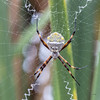 One more of one of Charlotte's relatives (_aires_) Tags: aires iris spidersweb spider web argiopeargentata silverargiope canoneos5dmarkiv canonef100mmf28lmacroisusm pantanosdevilla limaperu