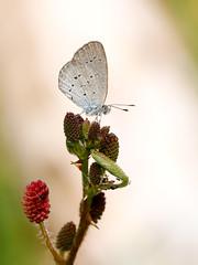 Lesser Grass Blue (chaz jackson) Tags: lessergrassblue zizinaotis lycaenidae polyommatinae blue grass butterfly insect macro vietnam