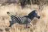 Zebra on a run (mayekarulhas) Tags: zebra southafrica safari wildlife wild canon krugernationalpark mammal grass animal field tree forest landscape