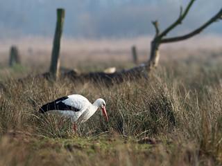 Die Störche sind zurück - The storks are back.