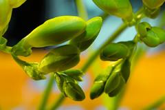 Life Buds. (Bobby McKay.) Tags: fresia buds macro flowers closeup