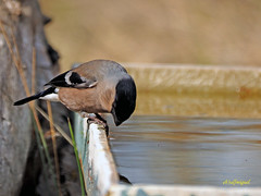 Camachuelo común (Pyrrhula pyrrhula) (9) (eb3alfmiguel) Tags: aves pájaros fringillidae passeriformes camachuelo común pyrrhula