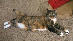 Gracie 16 February 2018 8494Ri 9x16 (edgarandron - Busy!) Tags: cat cats kitty kitties tabby tabbies cute feline