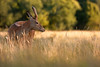 'Holding Sway' (Jonathan Casey) Tags: deer red young wollaton nottingham nottinghamshire uk nikon d d810 200mm f2 vr