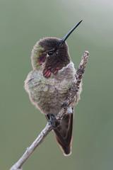 Early Mornings With My Little Favorite. (LisaDiazPhotos) Tags: hummingbird favorite backyard birding lisadiazphotos birdstagram bird macro micro close up