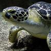 green sea turtle (ewaldmario) Tags: aquarium hausdesmeeres hdm meeresschildkröte schildkröte seeschildkröte nikon d800 seaturtle greenseaturtle animalcloseup animalportrait ewaldmario greenturtle sigma 35mm turtle puppie macro tierfoto