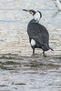 Great Cormorant - race sinensis (steve happ) Tags: azemmour greatcormorant morocco phalacrocoraxcarbosinensis