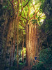 Climbing An Ancient Tree On Okinawa (Stuck in Customs) Tags: japan okinawa stuckincustomscom treyratcliff 80stays rcmemories stuckincustoms trey ratcliff aurorahdr hdr hdrtutorial hdrphotography hdrphoto tree light foliage trunk branches portrait woman path valley forest wood tropical x1d hasselblad