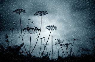 Winter umbellifer