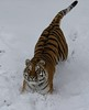 Emergency breaks test! (joannekerry) Tags: siberiantiger amurtiger tiger bigcats cats yorkshirewildlifepark wildlife snow nature canon