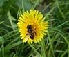 Even in november. (Fijgje On/Off) Tags: paardebloem taraxacumofficinale bloem flower zweefvlieg syrphidae insect natuur nature fijgje panasonicdmctz60 nov2017 febr2018