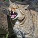 Wildcat yawning