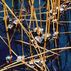 Icy Reeds (bjorbrei) Tags: reed reeds water ice winter minimal minimalistic