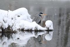 héron cendré (tineandthecats@gmail.com) Tags: héroncendré neige froid ngc